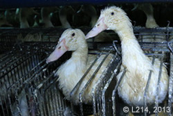 foie gras ducks