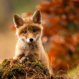 Petition: DO NOT repeal the fox hunting ban