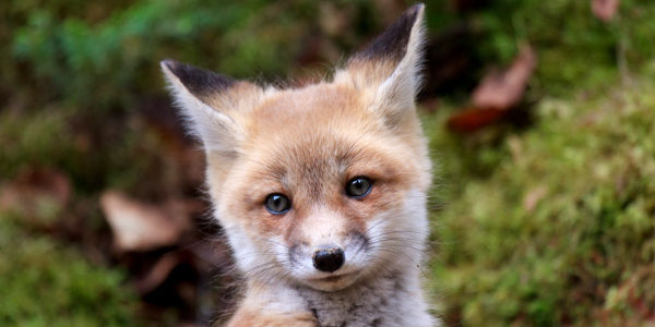 Petition: stop illegal 'cubbing', ripping-apart of baby foxes in the UK