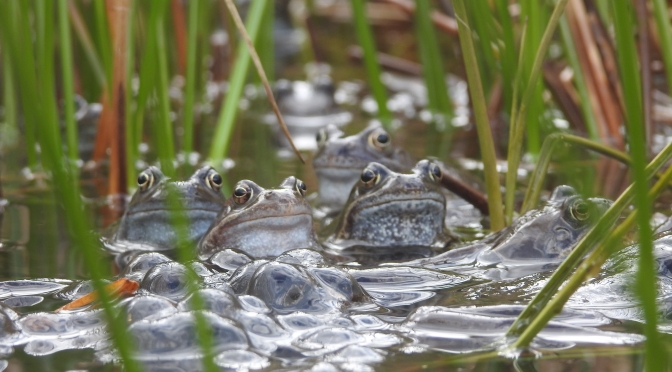 The great amphibian migration in #Todmorden
