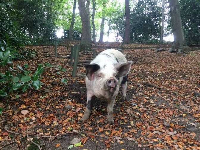 "21 Apr: Visit ""Pigs in the Wood"" Animal Sanctuary"