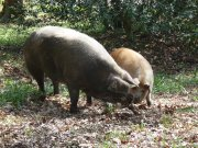 Pigs in the Wood 3