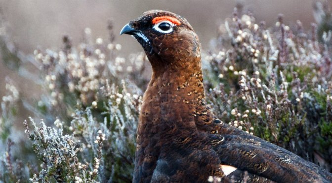 Grouse shooting: how can you help?