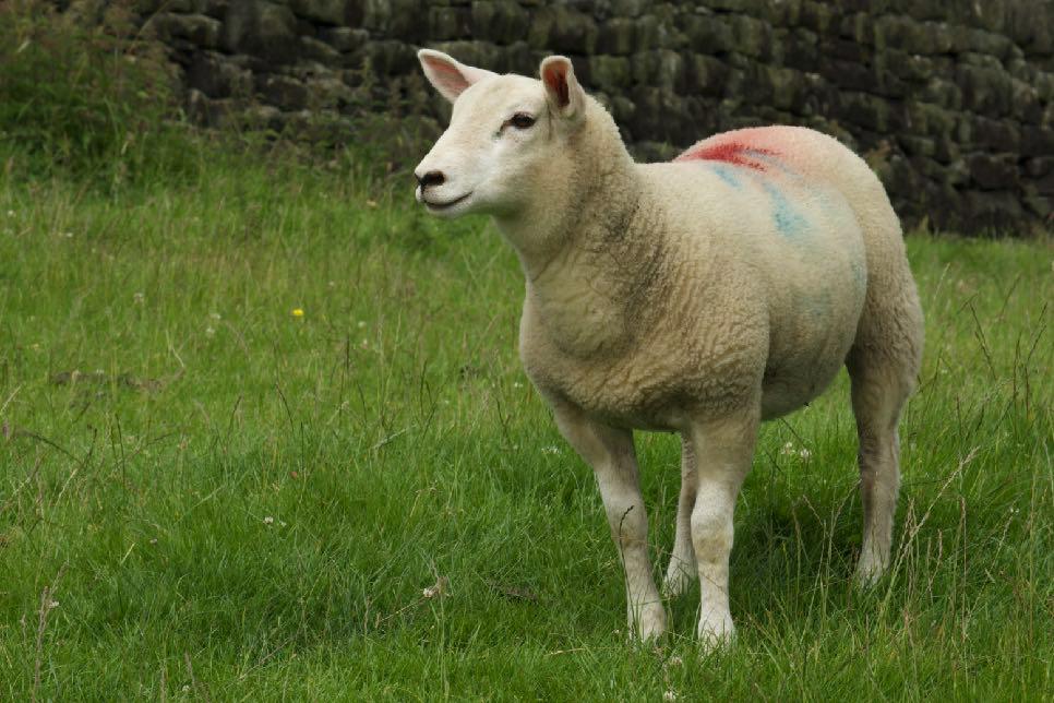 Sheep in Todmorden